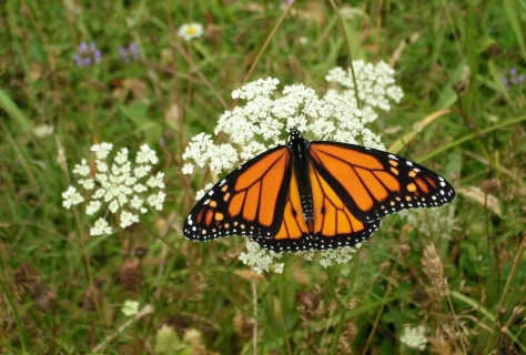 2015-04-30 Monarch butterfly