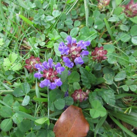 2017-05-18 Self-Heal or Prunella vulgaris.